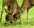 Mother and Son - Deer photo from  Cortes Island BC, Canada