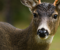 Blacktailed Deer - Deer photo from  Cortes Island BC, Canada