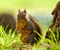 A Squirrel at the Foot of Its Tree - Douglas Squirrel photo from  Cortes Island British Columbia, Canada