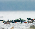 Harlequin Ducks and Surf Scoters - Duck photo from Smelt Bay Cortes Island BC, Canada
