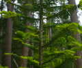 Cortes Island Fir Tree photo