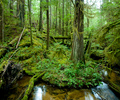 Grandmother Grove - Forest photo from  Cortes Island BC, Canada