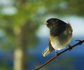 Cortes Island Junco photo