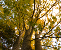 Cortes Island Maple Tree photo