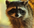 Raccoon Portrait II - Northern Raccoon photo from  Cortes Island British Columbia, Canada