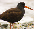 Cortes Island Oystercatcher photo