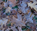Frosty Oak Leaves - Pattern photo from  Cortes Island BC, Canada