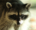 Cortes Island Raccoon photo