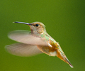 Rufous Hummingbird in flight - Rufous Hummingbird photo from  Cortes Island BC, Canada