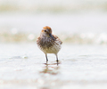 Western Sandpiper Portrait - Sandpiper photo from Smelt Bay Cortes Island BC, Canada