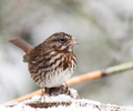 Song Sparrow - Sparrow photo from  Cortes Island BC, Canada