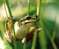 Pacific Tree Frog - Tree Frog photo from  Cortes Island BC, Canada