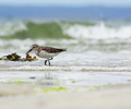 Western Sandpiper - Western Sandpiper photo from Smelt Bay Cortes Island BC, Canada