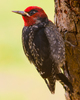 Cortes Island Woodpecker photo