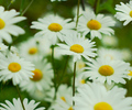 Field of Daisies - Daisy photo