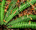 Gilford Island Fern photo
