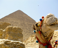 Giza Camel photo