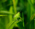 Aillevillers Grasshopper photo