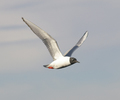 Campbell River Gull photo