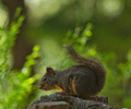 Lund Squirrel photo