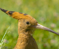 Upupa epops - Hoopoe photo from  Luxor Egypt
