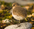 Marina Island Dunlin photo