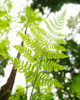 Pacific Spirit Park Fern photo
