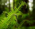 Spring Sword Fern Tips - Sword Fern photo from  Pacific Spirit Park British Columbia, Canada