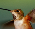 Hummingbird Action Portrait - Rufus Hummingbird photo