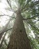 Slocan Valley Hemlock Tree photo