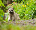 A Raccoon in the Back Garden - Northern Raccoon photo from  Vancouver British Columbia, Canada