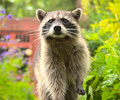 A Raccoon in the Back Garden II - Northern Raccoon photo from  Vancouver British Columbia, Canada
