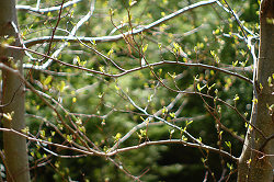 Spring Alder Buds - Cortes Island Alder Tree photo