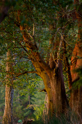 Arbutus Trunks at Mansosn Landing - Cortes Island Arbutus Tree photo