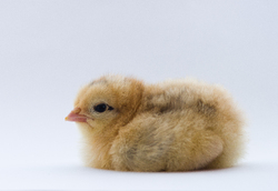 Seated Portrait of a Young Chicken -  Baby Bird photo