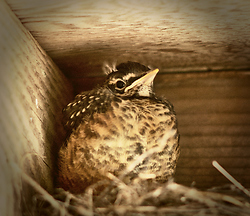 Baby Robin -  Baby Bird photo