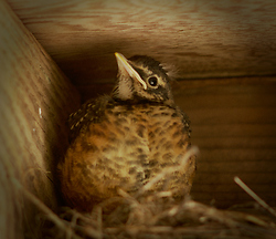 Robin Chick - Cortes Island Baby Bird photo