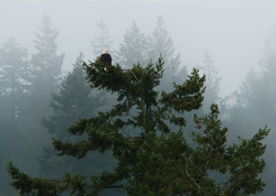 Bald Eagle - Cortes Island Bald Eagle photo