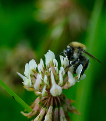 Bee on a Clover Flower -  Bee photo