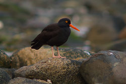 Black Oystercatcher on the Rocks of Eastern Cortes - Cortes Island  photo