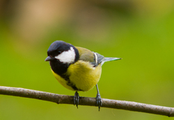 Great Tit - Aillevillers  photo