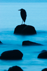 Great Blue Heron Silhouette - Cortes Island Blue Heron photo