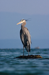 Great Blue Heron - Cortes Island Blue Heron photo