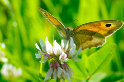 Butterfly on Clover Flower -  Butterfly photo