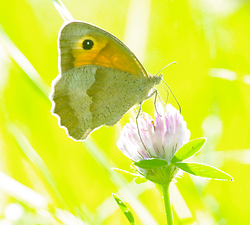 Butterfly on a Clover No. 2 -  Butterfly photo