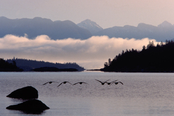 Canada Geese at Sunrise  - Desolation Sound Canada Goose photo