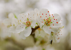 Cherry Flowers 2014 Version -  Cherry Flower photo