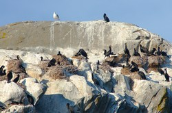 Nesting Double-crested Cormorants - Mitlenatch Island Cormorant photo