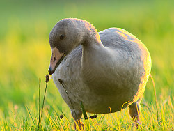 Greater White-fronted Goose -   photo