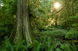 Old Forest ~ Forest picture from Cortes Island Canada.